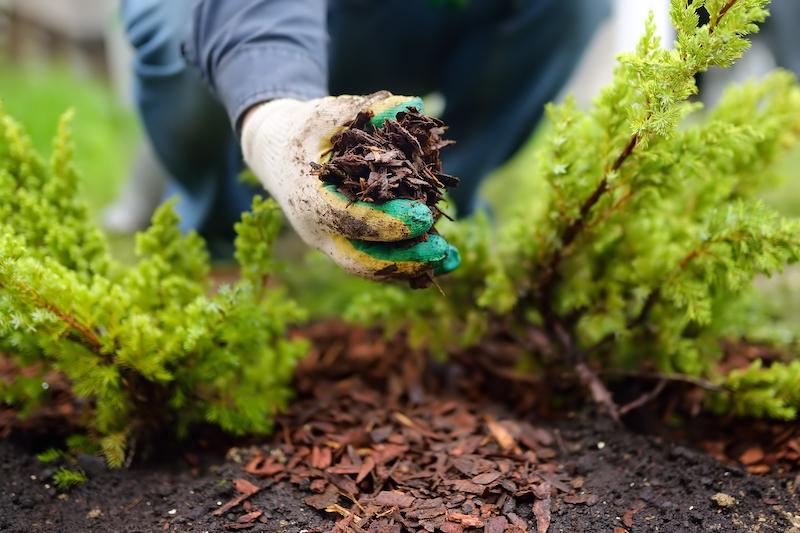 mulch in gardeners hand